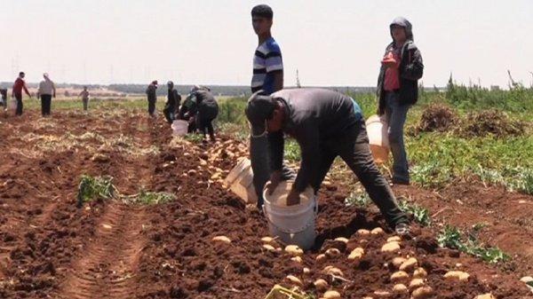 В иранской провинции будут выращивать меньше картофеля.