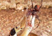 В Австралии самый опасный паук победил самую ядовитую змею