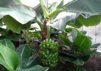 В Туркменистане собирают первый урожай бананов