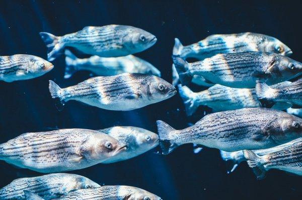 Исследователи объединили данные о рыбном промысле с картами температуры воды в море, чтобы оценить потери в добыче морепродуктов