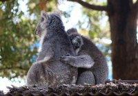 Дроны посчитали коал в Австралии