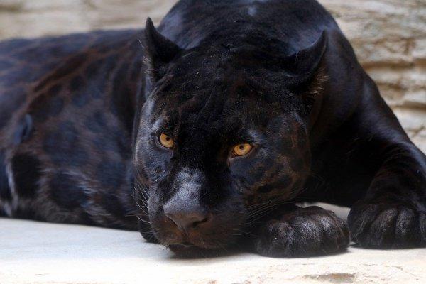 Этот же ягуар ранее уже нападал на посетителя, который также слишком подошел близко к вольеру