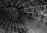 В Австралии нашли 3 новых вида пауков-павлинов (ФОТО)