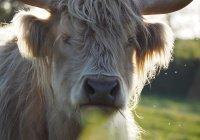 Кодекс поведения при встрече с коровами создадут в Австрии