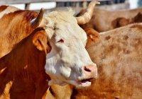 В США фермеры откопали погребенных заживо быков (ВИДЕО)