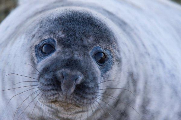 В настоящее время, благодаря оттепели, тюлень может свободно плавать по Неве