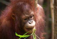 В Индонезии орангутанг выжил после 74 выстрелов