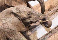 Редчайшего розового слоненка запечатлели в ЮАР (ВИДЕО)