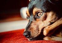 В США пес спас хозяев ценой своей жизни