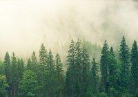 ГМО-деревья могут решить проблему восстановления лесов