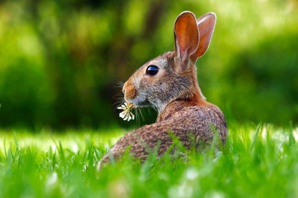 Обоняние кроликов в 30 раз сильнее собачьего обоняния