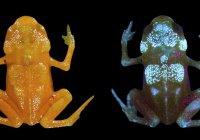 Ученые обнаружили 2 вида светящихся «нано-жаб»