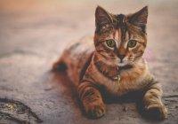 Первая вакцина от аллергии на кошек может появиться в 2019 году