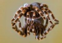 На Филиппинах в печенье нашли 757 живых тарантулов
