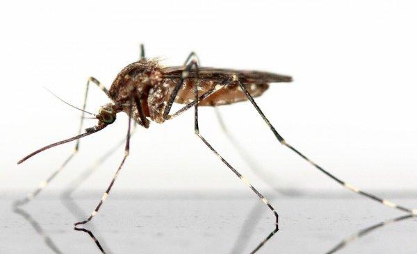 При этом жертвой комаров был хомяк