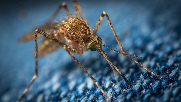 Переносчиками болезней являются самки комаров, использующих для поиска подходящего для укуса человека целый набор данных