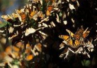 В Мексике ради бабочек переносят лес