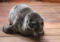 В Калининграде тюлененку предложили «потолстеть для счастья»