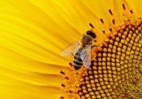 Термостойких пчел выведут в Крыму