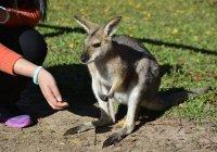В Австралии кенгуру запретили шоколад