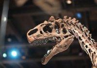 В США продается скелет детеныша тираннозавра