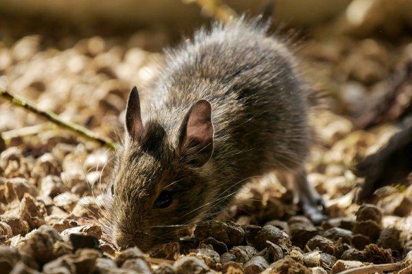 Ученые отметили интересное поведение крыс и мышей на МКС