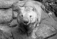 Самый старый в мире вомбат умер в Австралии