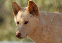 В Австралии отец отбил ребенка у дикой собаки динго