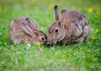 Стало известно, как кролики попали на Британские острова