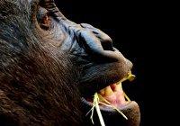 В Конго рейнджер поразил Интернет селфи с гориллами