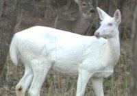 Редчайшего белоснежного оленя запечатлели в США (ФОТО)