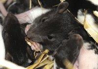 На остров в Австралии сбросят тонны крысиного яда