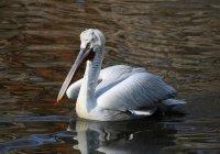 Птенцы редких пеликанов родились в Московском зоопарке (ВИДЕО)
