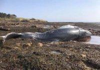 В Шотландии утонул горбатый кит