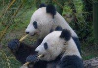 В Россию из Китая прилетят 2 большие панды