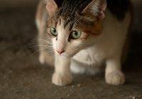 Власти Австралии истребят 2 млн диких кошек