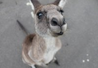 Работница Ленинградского зоопарка «вынашивает» кенгуренка (ФОТО)
