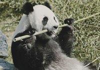 Из Китая в Москву спецрейсом прилетели 2 панды