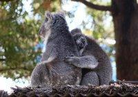 В Австралии коалу подсадили в сумку суррогатной матери