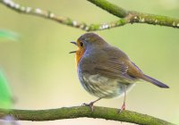 У певчих птиц нашли дополнительную хромосому