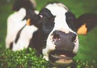 На Урале корова удивила местных жителей (ВИДЕО)