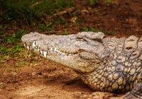 В Малайзии поймали 4-метрового крокодила-людоеда