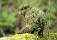 В Новой Зеландии провели уникальную операцию на мозге попугая