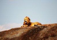 В ЮАР пытаются вылечить льва от рака кожи