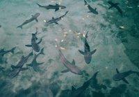 К берегам Великобритании выбросило 100 мертвых акул