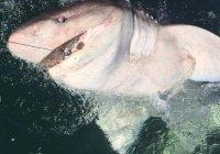 В Ирландии женщина поймала редкую акулу