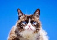 В США умерла «сердитая кошка» Grumpy Cat