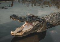 В Австралии мужчина попал в плен к крокодилам и выжил