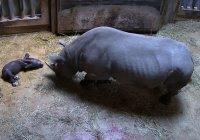 Редчайший черный носорог родился в США