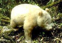 Белую панду впервые в истории запечатлели в Китае (ФОТО)